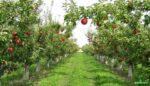 Yeni Meyve Bahçesi Tesisinde Fidan Gübrelemesi