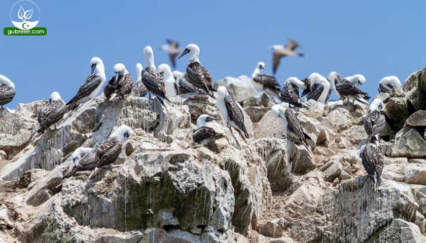 Guano, deniz kuşları dışkısı