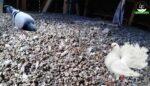 Güvercin gübresi ve faydaları