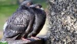 Güvercin Gübresi Nasıl Kullanılır?