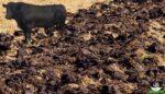 Sığır gübresi ve faydaları