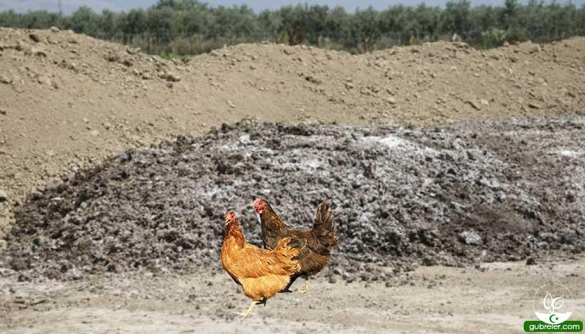 Tavuk gübresi ve faydaları
