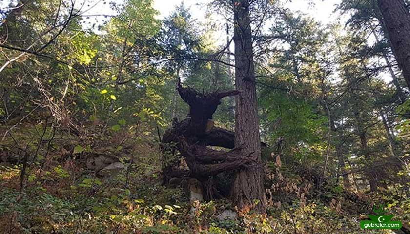 yaratık görünümlü ağaç